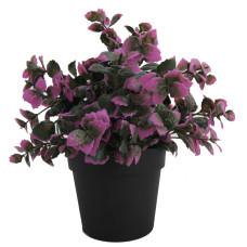 Piantina foglie viola